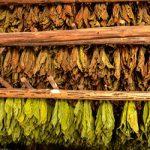 Auguran buena cosecha de tabaco en Pinar del Río