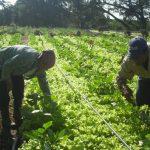 Campesinos manzanilleros trabajan para celebrar cumpleaños 91 de Fidel // Foto Archivo RG