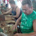 Reconocimiento Nacional a tabacaleros manzanilleros // Fotos Marlene Herrera
