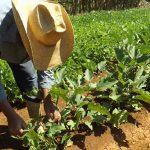 Campesinos manzanilleros por incrementar alimentos para el pueblo // Foto Marlene Herrera